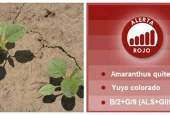 collage-alerta-amaranthus-quitensis