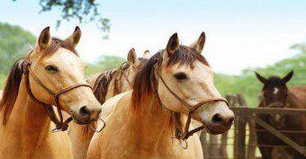 caballos criollos 001