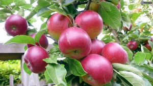 manzanas-rojas-164722