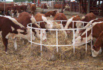 vacas-final