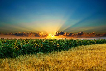 P0306-24-x38-Sunrise-above-the-font-b-Sunflower-b-font-Wheat-font-b-field-b