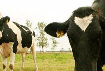 i16682-vacas-lecheras-631x280