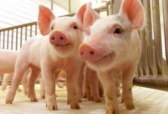 produccion porcina 200115