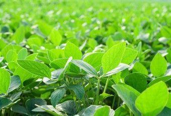 soja-potenciada-por-efecto-fertilizante-foliar