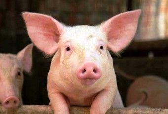 cerdo El-cerdo-tiene-hocico-chato-y-flexible