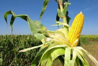 maiz cultivomaiz