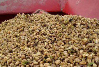 porotos-cosecharon-pueden-germinativo-semillas_CLAIMA20160711_0298_28