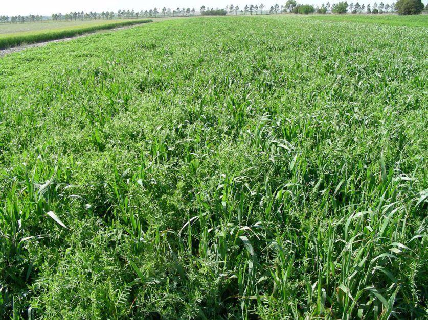 Cultivos de cobertura por qu son cada vez m s for Que son cultivos asociados