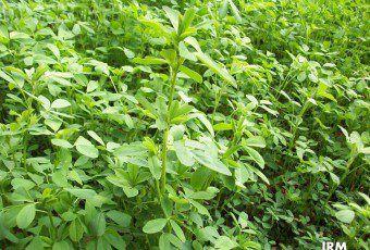 11-07-24-alfalfa