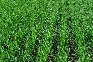 cultivos de invierno trigo