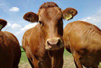 ganado_bovino