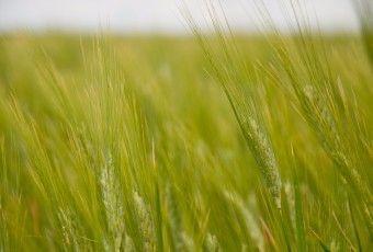 trigo-rice-green-6620372-o