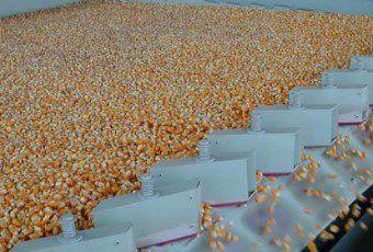 i14951-grano-maiz-631