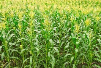 15641803-un-campo-de-ma-z-verde-que-crece-en-tailandia-foto-de-archivo
