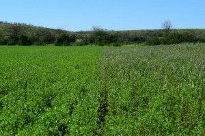 alfalfa peman