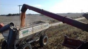 ensayo maíz